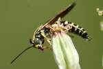 Five-banded Tiphiid Wasp