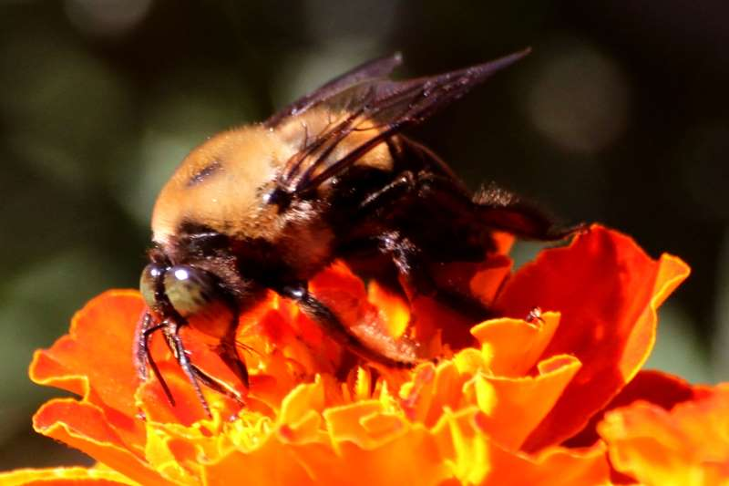 Cow killer bee - photo#27
