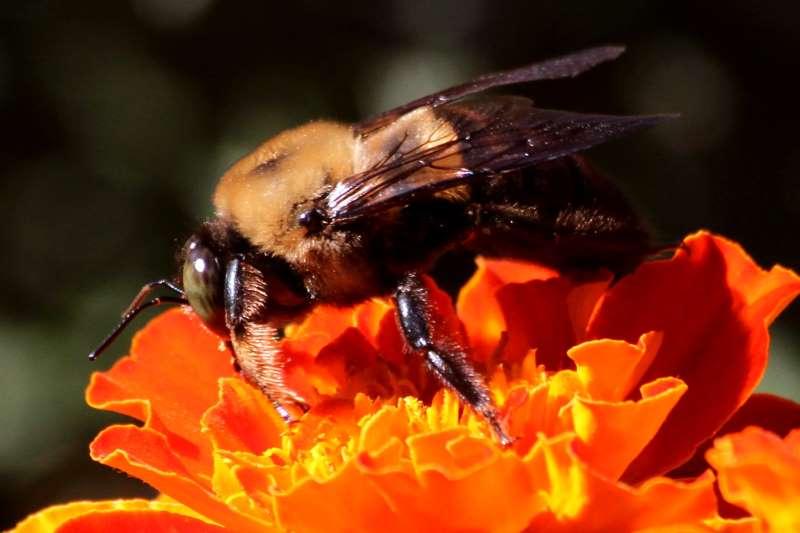 Cow killer bee - photo#22