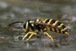 Eastern Yellowjacket