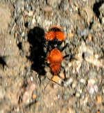 Cow Killer Wasp