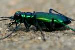 Six-spotted Green Tiger Beetle