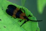 Banded Net-wing Beetle