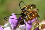 Notch-tipped Flower Longhorn