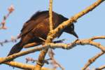Common Grackle - in molt