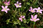 Texas Star - Meadow Pink