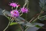 Tall Ironweed
