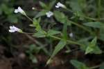 False Pimpernel