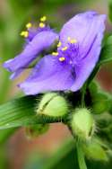 Hairyflower Spiderwort