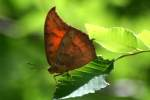 Goatweed Leafwing Butterfly