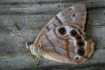 Southern Peraly-eye Butterfly