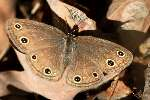 Viola's Wood-satyr Butterfly