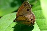 Little Wood-satyr Butterfly