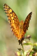 Variegated Fritillary Butterfly