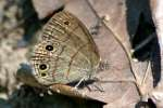 Carolina Satyr Butterfly