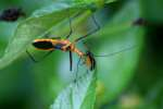 Milkweed Assassin Bug