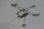Water Strider - Pond Skater