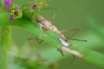 Leafhopper Assassin Bug