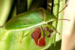 Small Green Stink Bug / Red-Shouldered Stink Bug