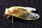 Cicada - Just emerged