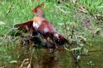 Northern Cardinal Bathing in Toledo Bend Lake