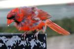 Male Cardinal in Molt
