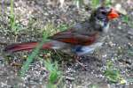 Female Cardinal in Molt