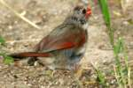Northern Cardinal - Female in molt