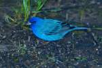 Blue Grosbeck