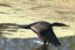 Cormorant in Flight - Sequence