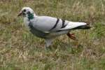 Rock Dove/Pigeon