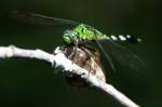 Green Clearwing / Eastern Pondhawk Dragonfly