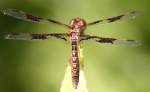 Low-flying Amber-wing Dragonfly