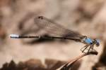 Blue-fronted Dancer Damselfly