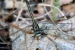 Lancet Clubtail Dragonfly
