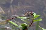 Two-striped Forceptail Dragonfly
