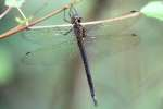 Clamp-tipped Emerald Dragonfly - Female