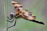 Brown-spotted Yellow-wing Dragonfly