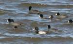 Lesser Scaup with Coots