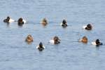 Canvasback Ducks