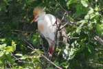 Cattle Egret Breeding Plumage