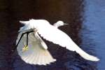 Snowy Egret In Flight - Sequence