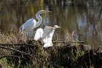 Great Egret with Juvenile