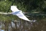 Great Egret in Flight - Sequence