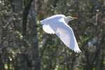 Cattle Egret In Flight - Sequence