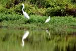 Great Egret with Snowy Egrets