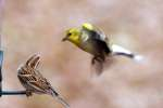 American Goldfinch In Flight