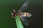 Flower Fly / Hover Fly