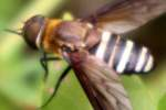 Progressive Bee Fly