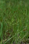 Marsh Flatsedge